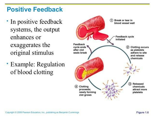 Positive Feedback Mechanism - LM White Biology
