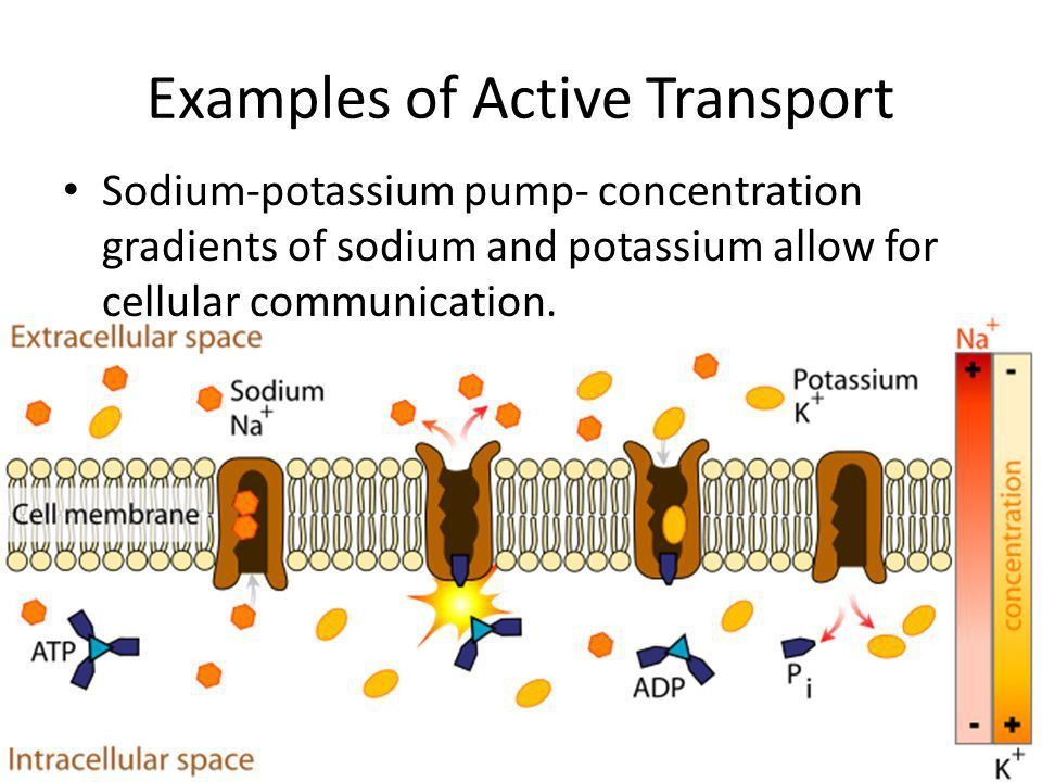 CELL TRANSPORT Objectives - ppt video online download