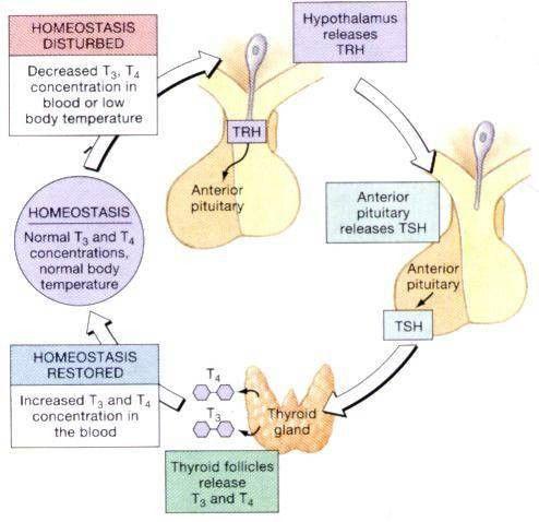 Negative Feedback loop for Thyroid, plus more info on the website ...