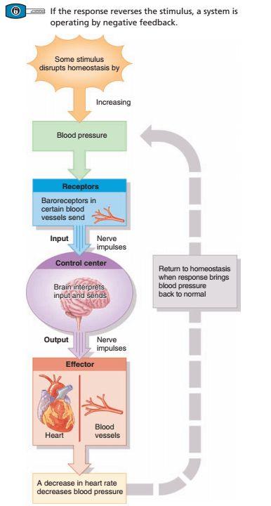 Homeostasis Regulation - Positive and Negative Feedback Mechanism ...