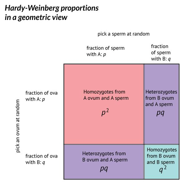 Genetic variation and the Hardy-Weinberg proportions · john hawks ...