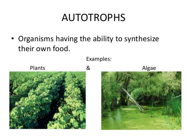 Autotroph Examples Images - Reverse Search