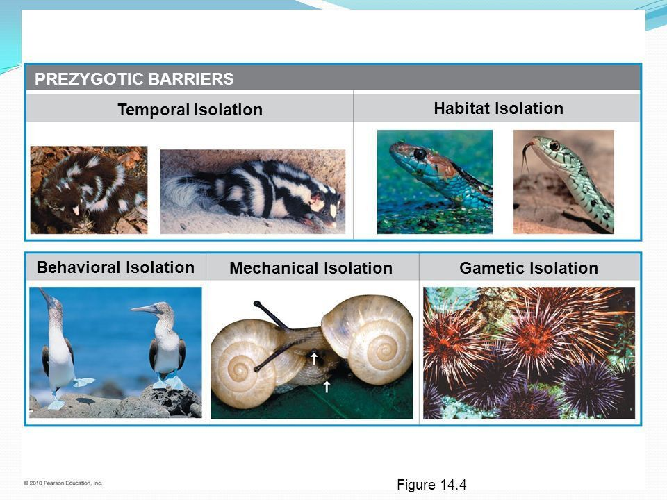 How Biological Diversity Evolves MACROEVOLUTION - ppt download