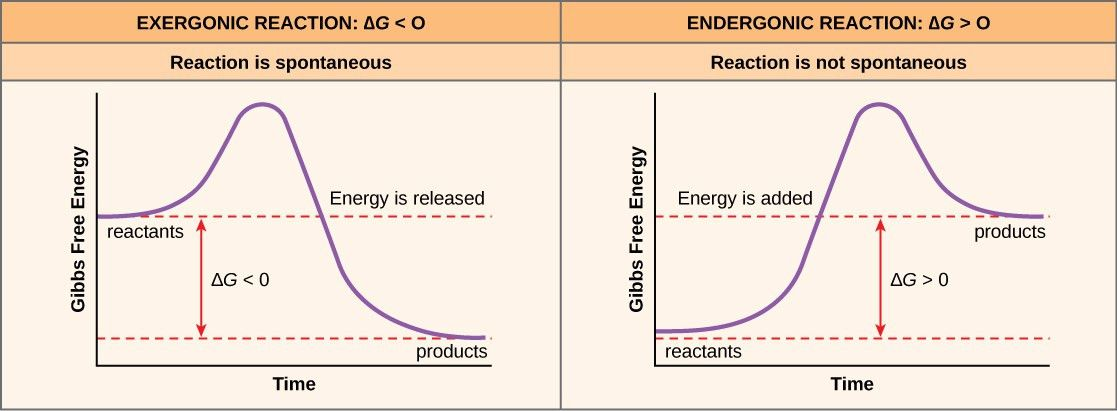 Potential, Kinetic, Free, and Activation Energy · Biology