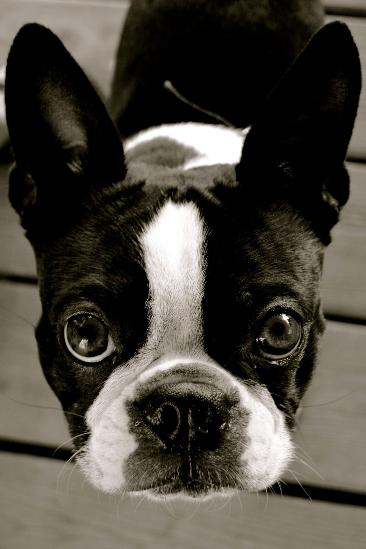 B Is For Boston Terrier Bostons, Frenchies &am...