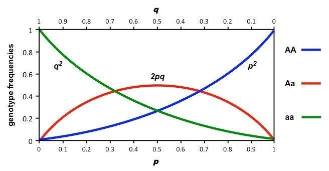Hardy-Weinberg Principle   BioNinja