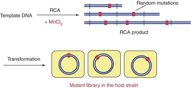 Error-prone RCA.Template plasmids are amplified by RCA in the ...