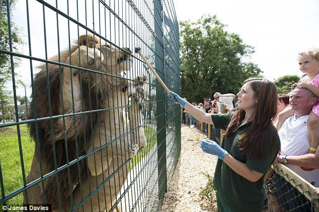The Lion Queen! 20-year-old lands her dream job looking after ...