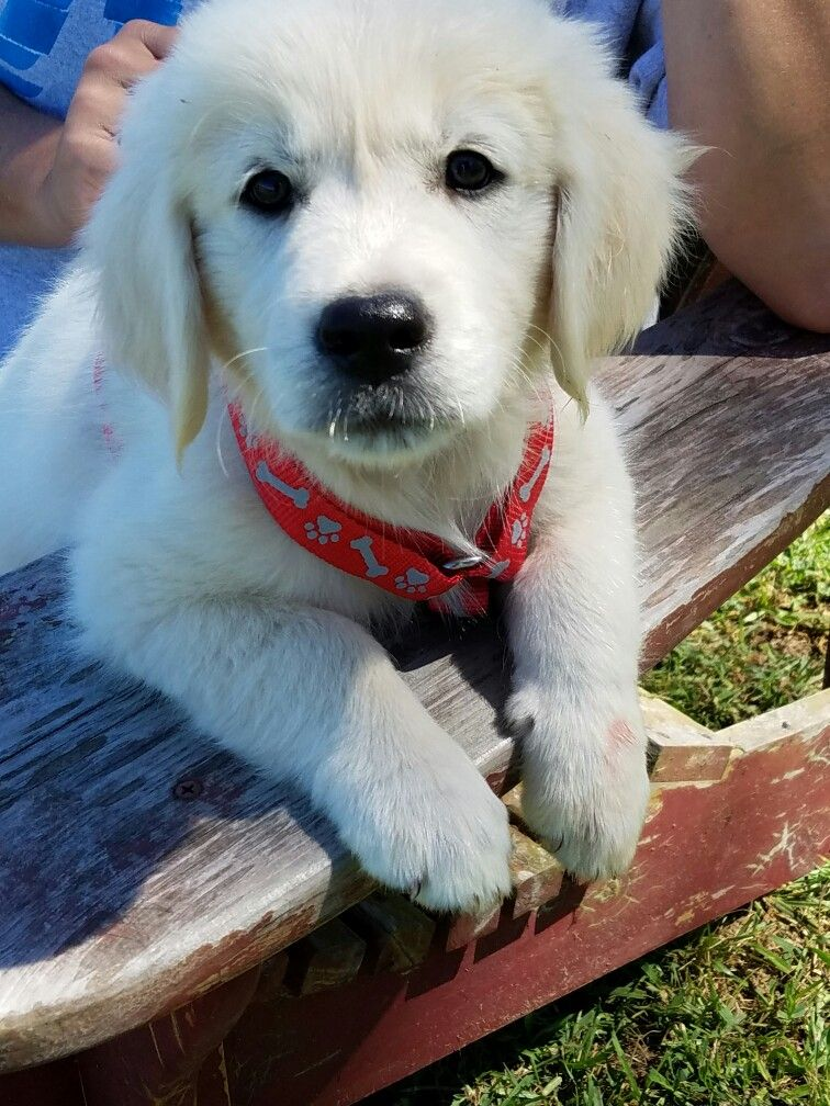 English golden retriever puppy addie puppies and