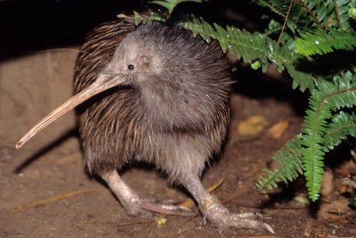 The kiwi bird, for example, is a case of convergent evolution with ...