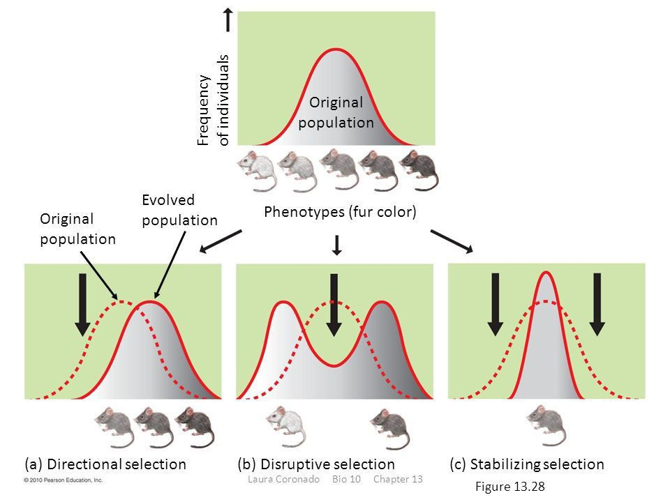 Stabilizing Selection Definition Example Essay - Homework for you