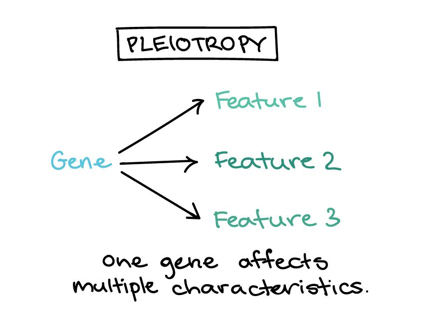 Pleiotropy and lethal alleles (article) | Khan Academy