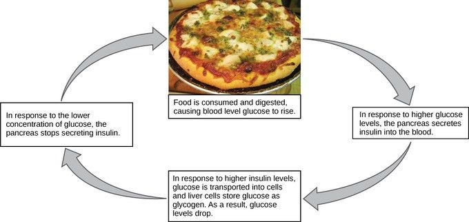 Homeostasis   Boundless Biology