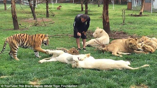 Dramatic moment a zookeeper is saved from a charging leopard by a ...