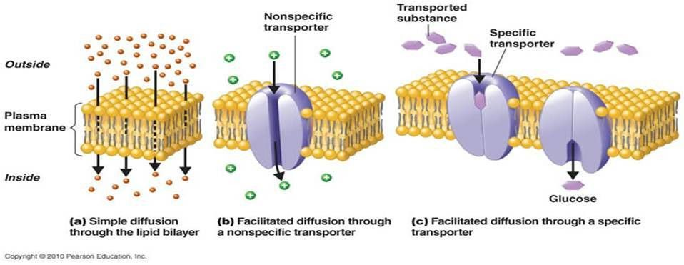 Cell membranes - BIOLOGY4ISC