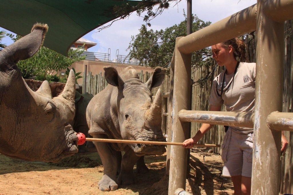 Rhinos Archives - HOUSTON ZOO