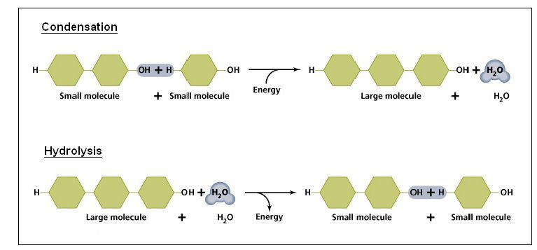 the role of condensation and hydrolysis in cells - IB Biology Syllabus