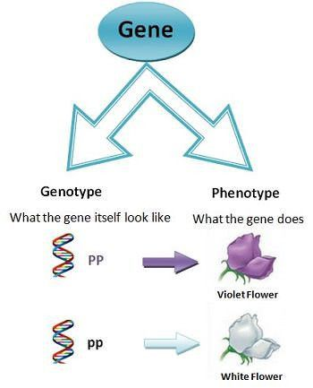 What is a genotype? + Example