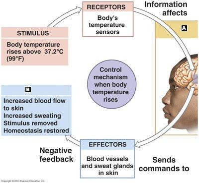 Physiology-11 - 02 Homeostasis