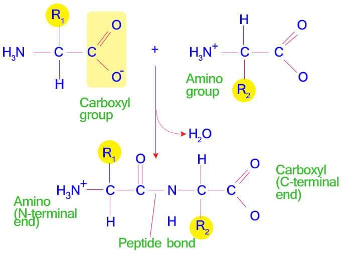 Dehydration Synthesis - Definition, Reaction and Example ...