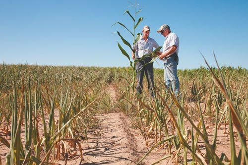 Crop insurance claims could escalate