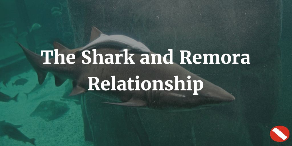 The Shark and Remora Relationship