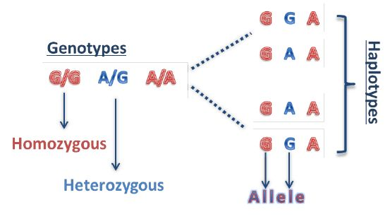 1: An example of a genotype sequence for three SNPs along with ...