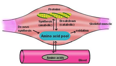 Anabolism, Protein Anabolism, Examples of Anabolism | Chemistry ...