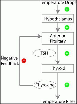 BioBook | Leaf: How do organisms regulate hormone function?
