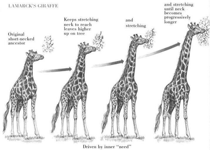 natural selection giraffe example - Google Search | Essay 2 ...