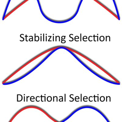 What Is Stabilizing Selection?