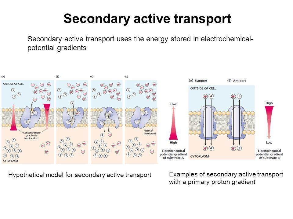 Solute Transport. Cell Membrane Passive transport. - ppt download