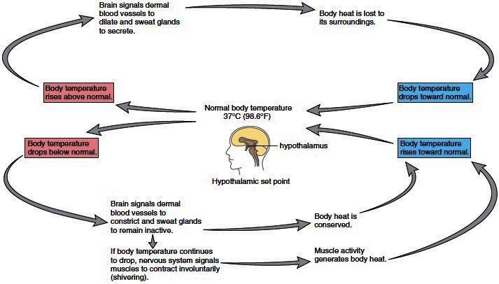 Process of Homeostasis. Homeostasis and Body Systems