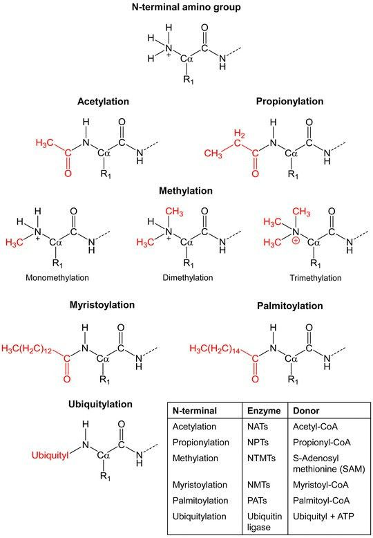 Structural formulae of major N-terminal protein modifications. The...