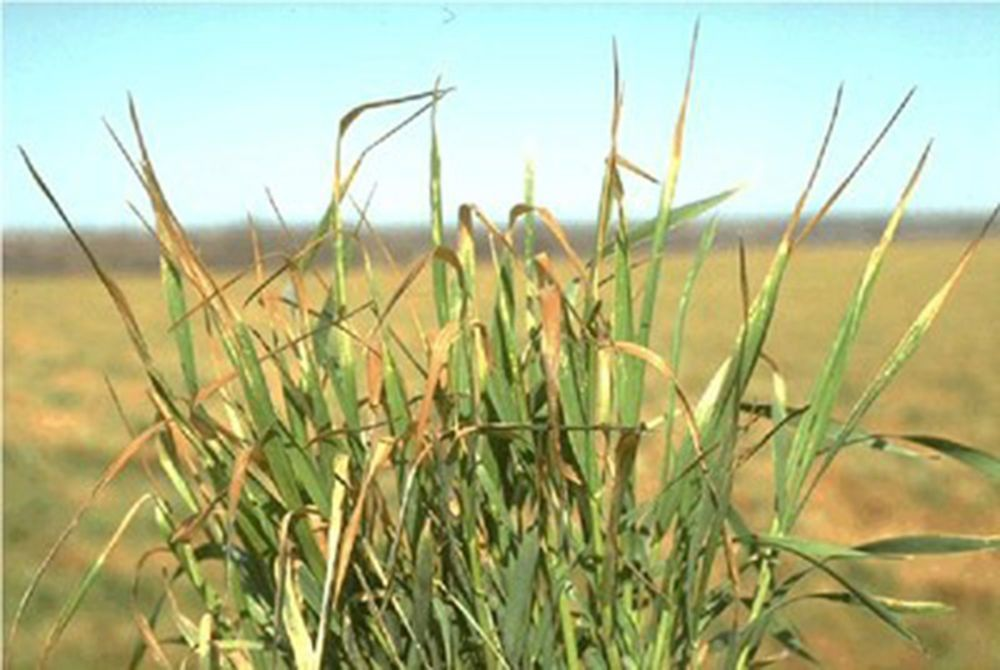 Frost damage minimal to area wheat crop | Farm and Ranch ...