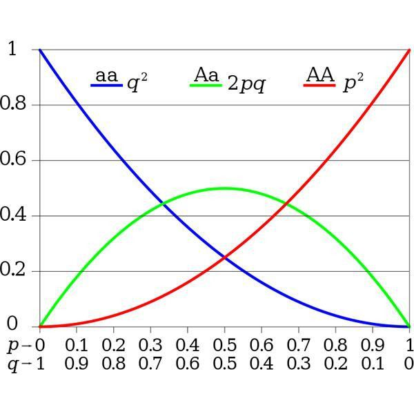 The Hardy-Weinberg Equilibrium Theorem in Population Genetics