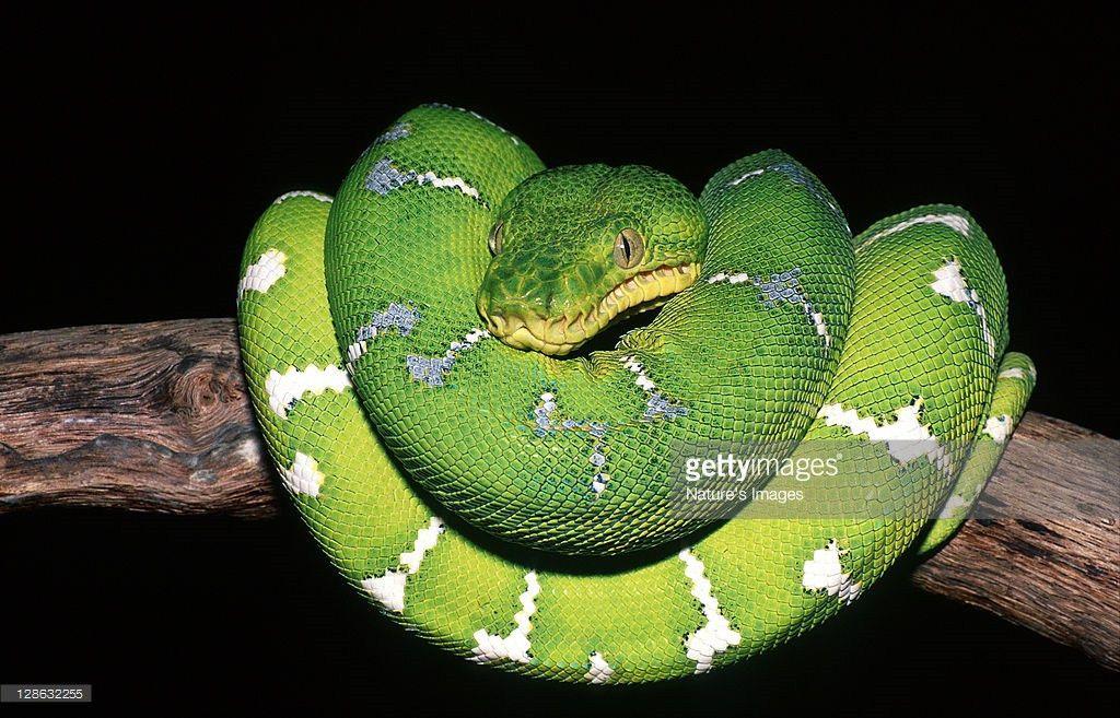 Emerald Tree Boa Corallus Caninus Is An Inhabitant Of The Amazon ...