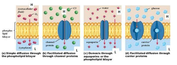 Cellular Transport - Ms. Raeon's Biology Website