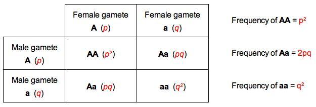 D4 The Hardy-Weinberg Principle   BioNinja