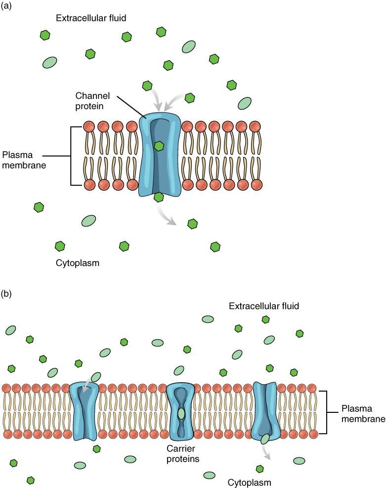 3.1 The Cell Membrane | Anatomy and Physiology
