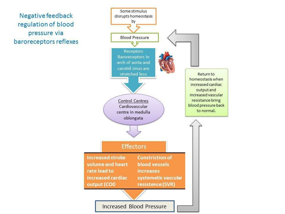 Main mechanisms of Homeostasis - Homeostasis