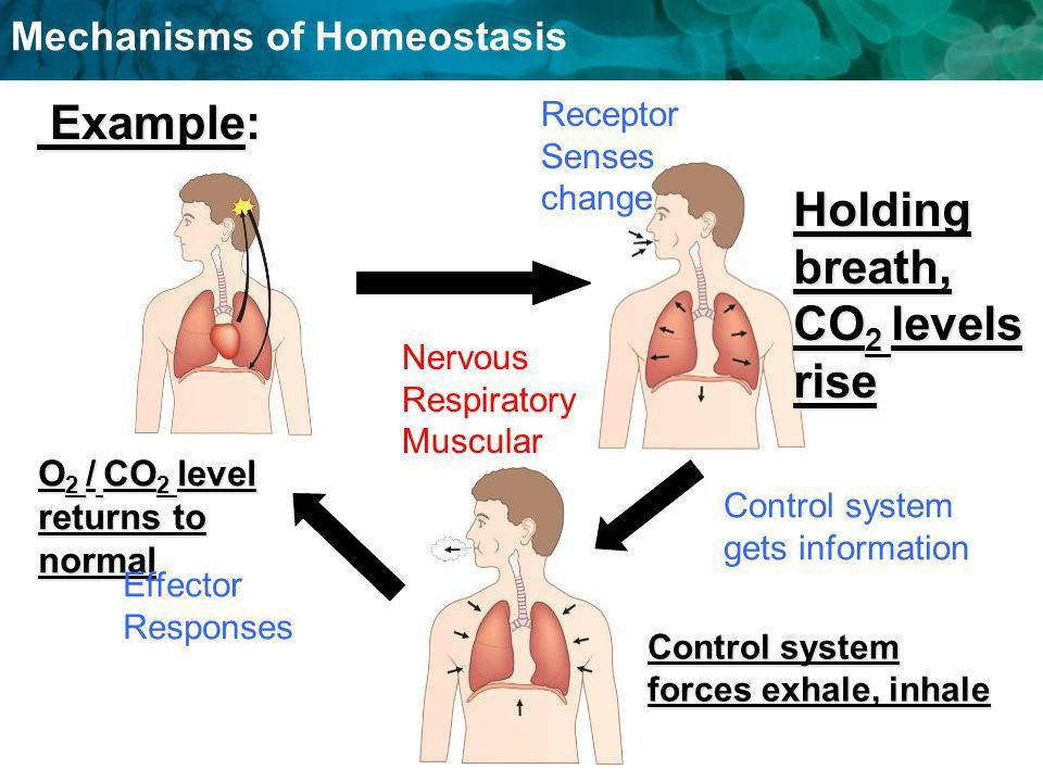 Balancing Act- Mechanism of Homeostasis - ppt video online download