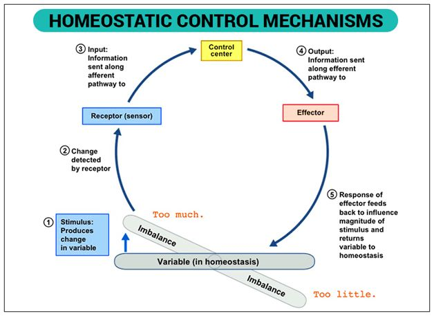 What Is Homeostasis - Definition & Examples | Homeostasis ...