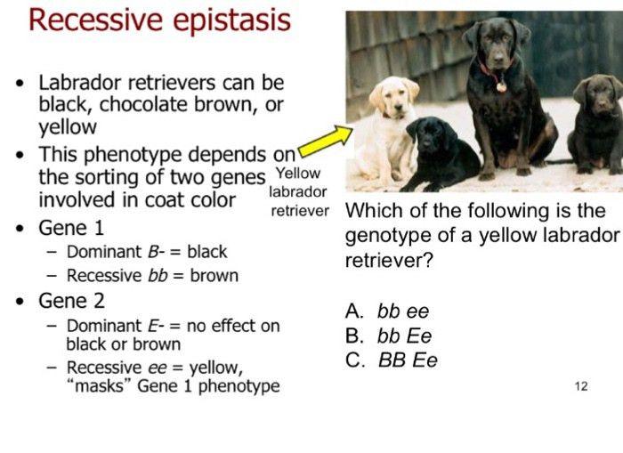 Recessive Epistasis Labrador Retrievers Can Be Bla... | Chegg.com