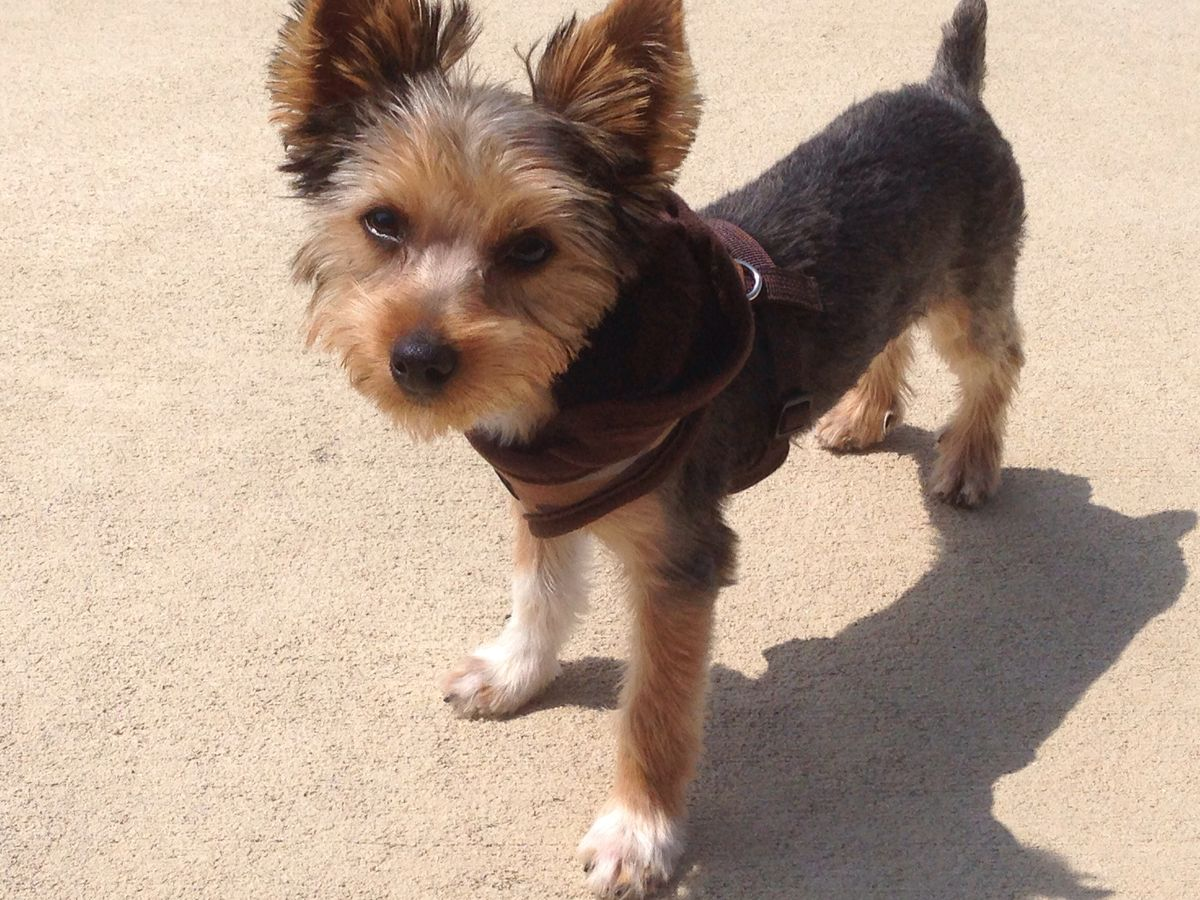 Yorkshire Terrier Male Haircuts