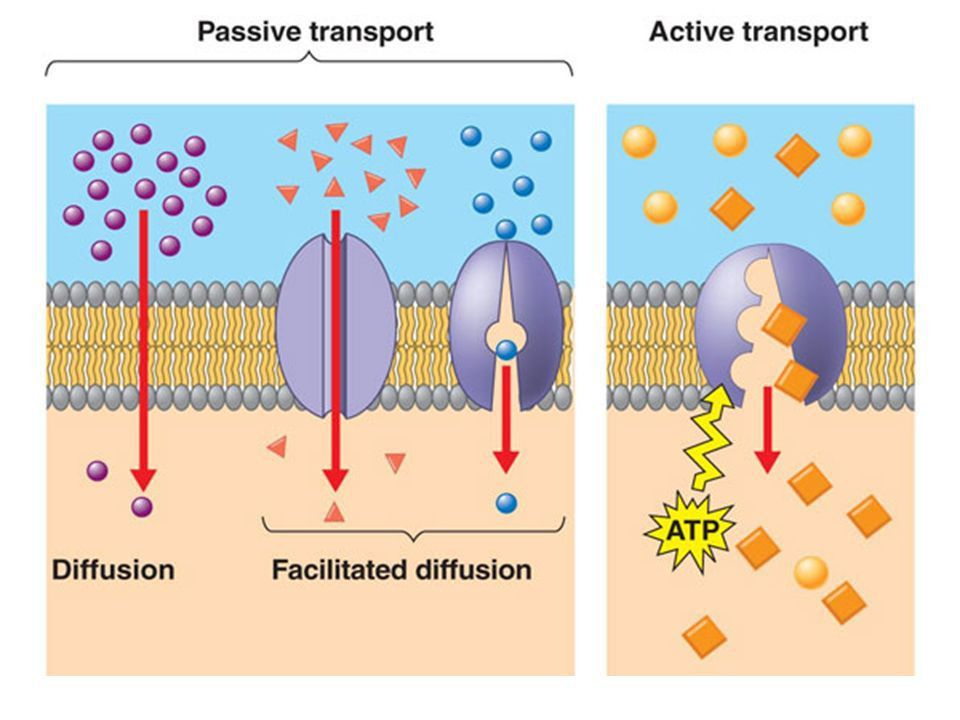 Transport In and Out of the Cell. How Diffusion Works A little ...