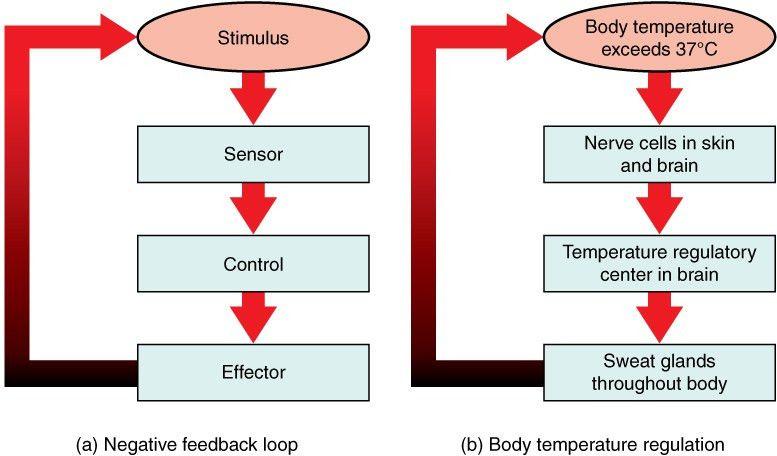 1.5 Homeostasis | Anatomy and Physiology