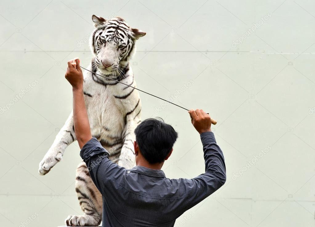 Zookeeper training white bengal tiger — Stock Photo © anankkml ...