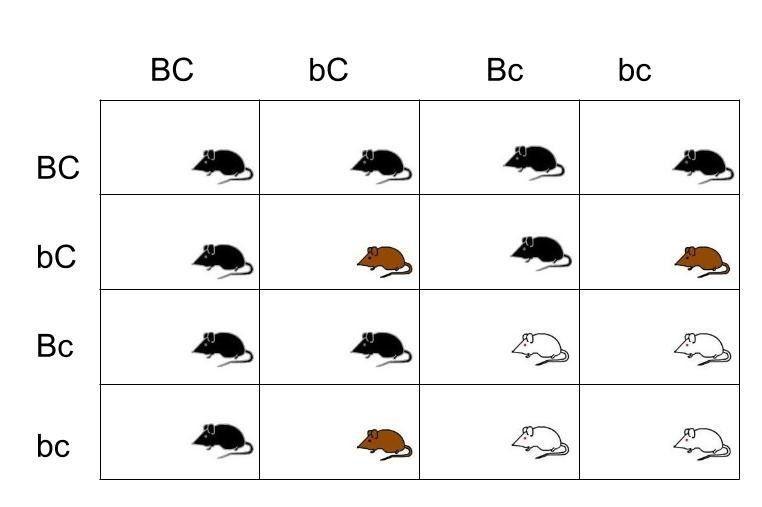Epistatic Alleles and Labradors
