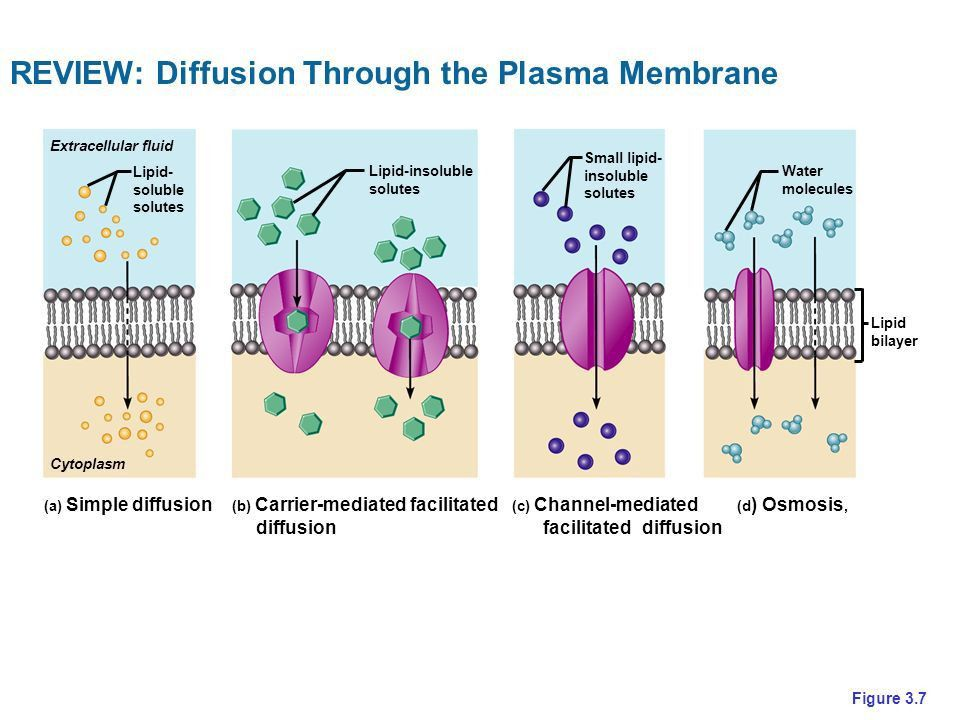 CHAPTER 3 … 3.1 THE CELL MEMBRANE … - ppt video online download